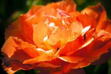 kvet, Ker, kvet, lupienok, kvet, ruže, mak, rastlín