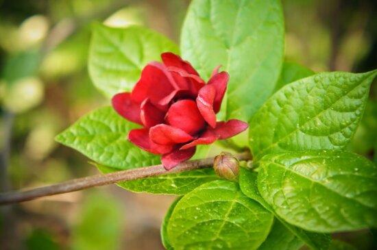 organisme, plante, arbuste, piment de la Jamaïque, nature, feuille, flore, été