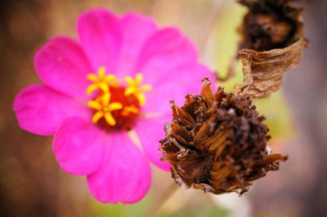 ピンク, 花, 自然, 花, 花びら, 工場, フローラ, ガーデン
