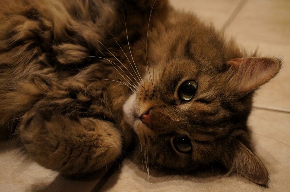 纯种, 猫, 国内, 宠物, 凯蒂, 毛皮, 猫, 可爱