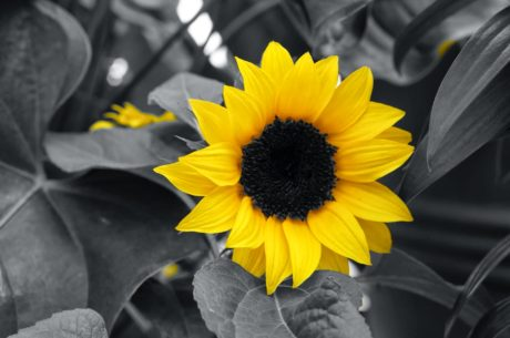 black and white, illumination, monochrome, flower, agriculture, sunflower, summer, sun