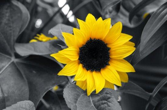 schwarz und weiß, Beleuchtung, Monochrom, Blume, Landwirtschaft, Sonnenblume, Sommer, Sonne