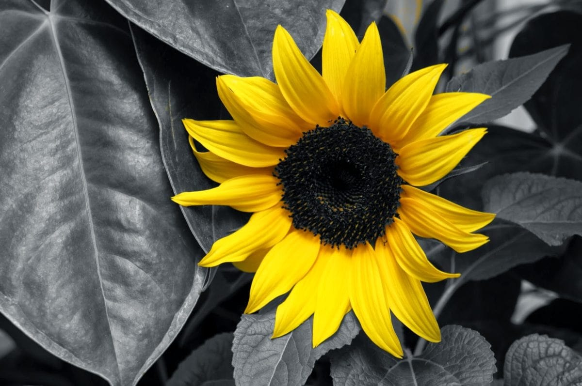 illumination, monochrome, plant, flower, summer, nature, sunflower, petal
