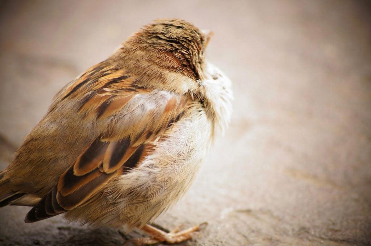 varpunen, eläinten, lintuinfluenssan, nokka, lintu, hämärtää, ruskea, Söpö