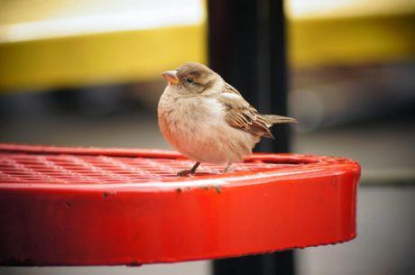 kralješka, kljun, Vrabac, krilo, divlje, pero, biljni i životinjski svijet, ptica