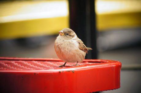 divlje, biljni i životinjski svijet, Vrabac, ptica, kljun, pero, kralješka, krilo