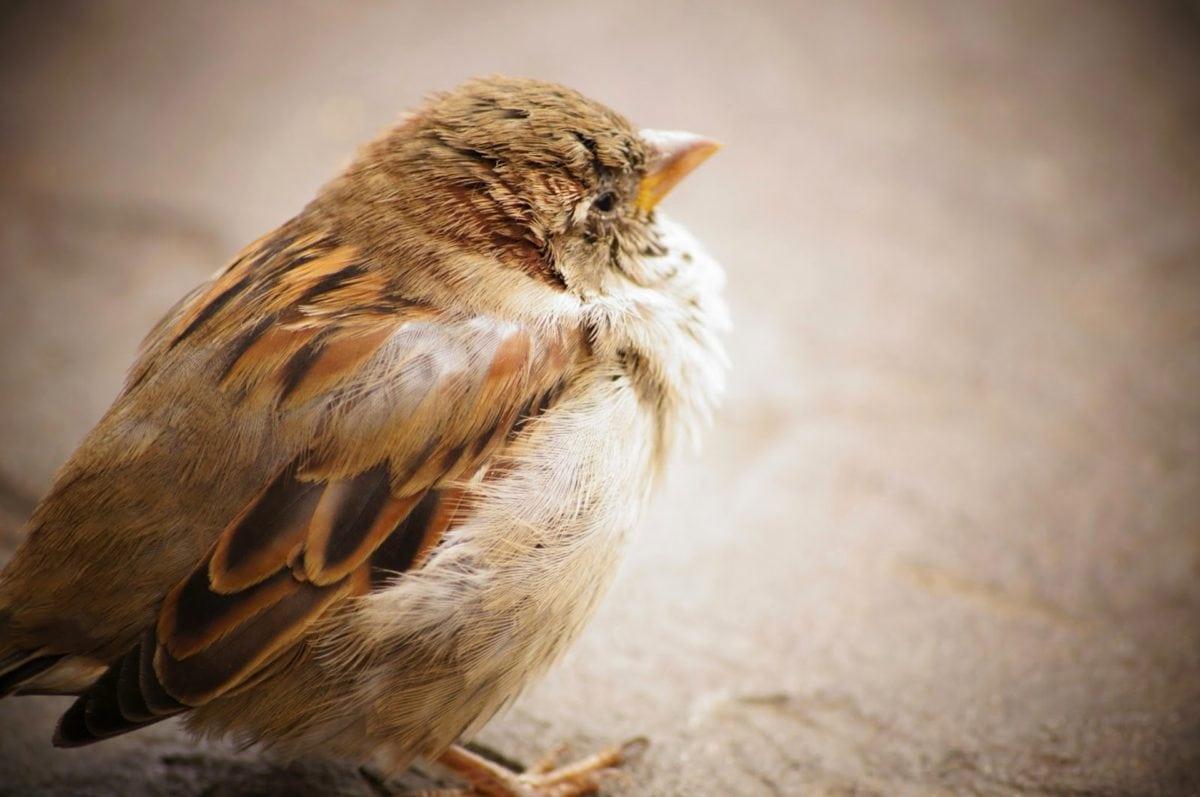 spurv, vilde, dyreliv, fjer, vinge, næb, fugl, hvirveldyr