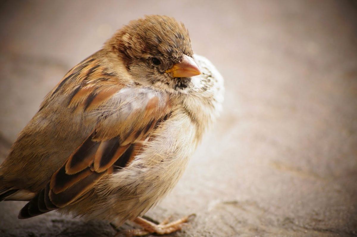 divoká zvěř, Sparrow, zvíře, obratlovců, pták, zobák, peří, divoká