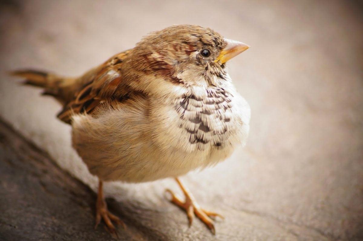 sulka, eläinten, varpunen, lintu, selkärankaisten, nokka, villieläimet, villi