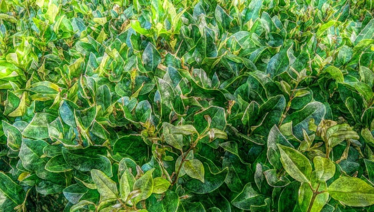 Εικονογράφηση, φύση, χλωρίδα, φύλλο, φυτό, θάμνος, δέντρο, τροφίμων