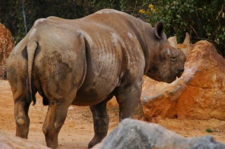 Africa, horn, rhinoceros, wildlife, safari, wild, nature, animal