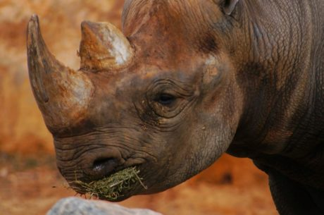 horn, huden, vilda djur, vilda, Safari, noshörning, placenta, naturen