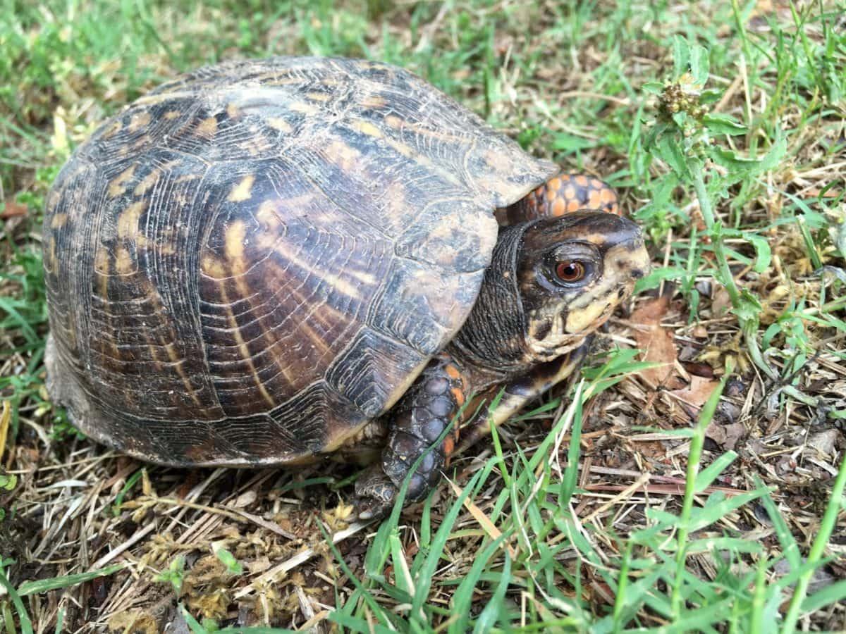 龟, 壳, Terrapene carolina bauri, 龟, 性质, 爬行动物, 野生动物, 动物