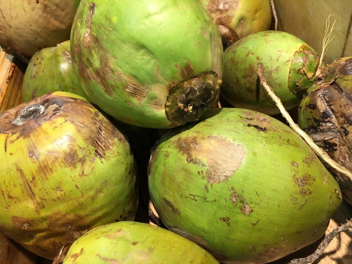 coconut, tropical, fruit, root, vegetable, food, grow, exotic