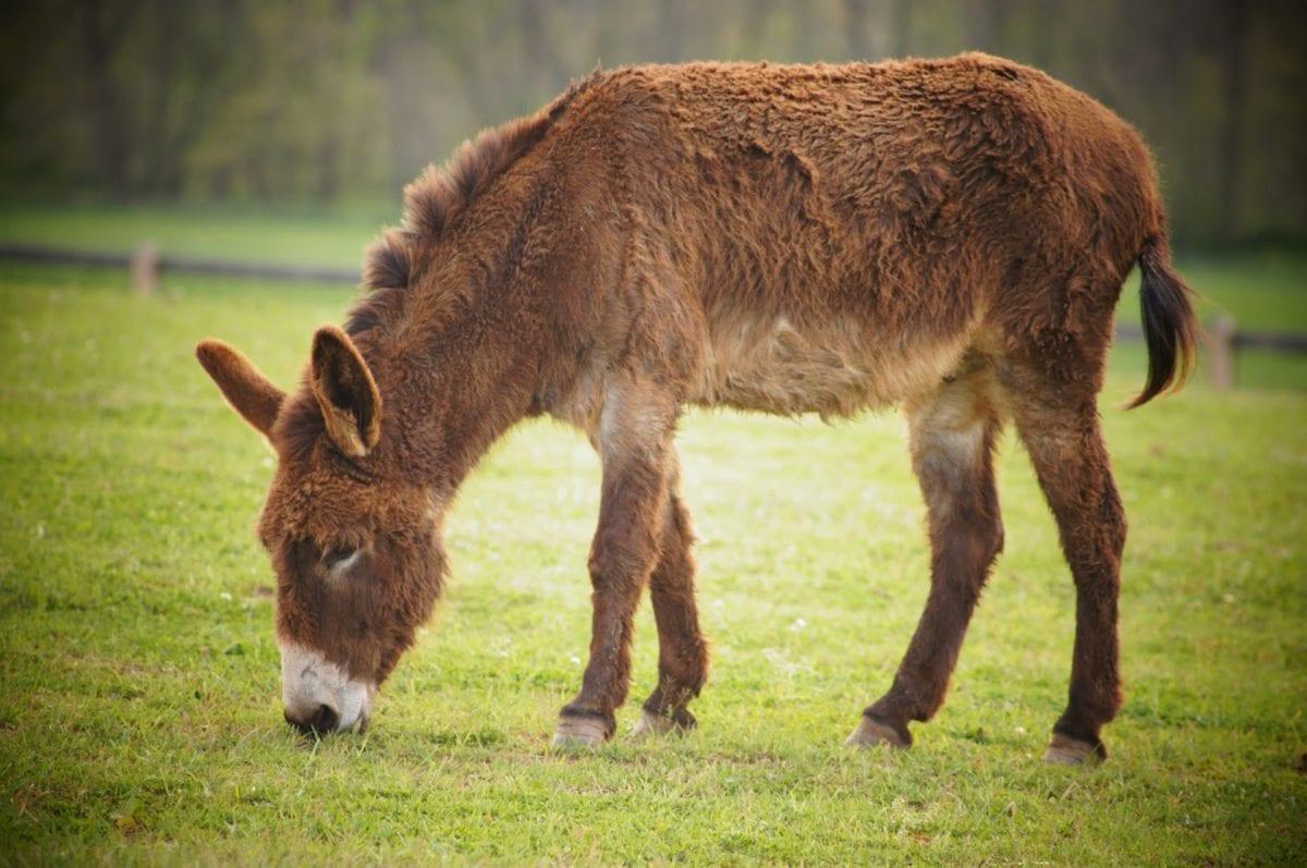 esel, beite, dyr, dyreliv, gården, equine, gresset, Husdyr