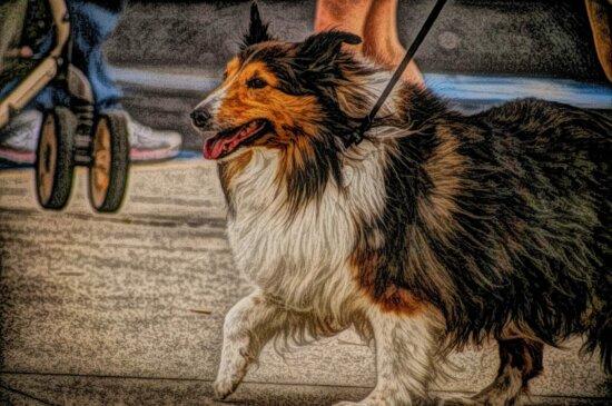 chien de berger, Fourrure, chien de berger écossais, canine, animal de compagnie, chien, animal, Portrait