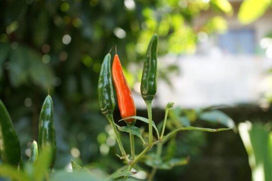 Capsicum, piment, jardin, feuille, poivre, nature, flore, été