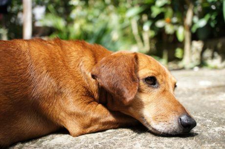 ruskea, puhdasrotuinen, koira, Söpö, koira, eläinten, lemmikki, metsästyskoira
