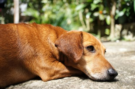 кафяв, чистокръвни, куче, сладък, кучешки, животните, домашен любимец, Ловно куче