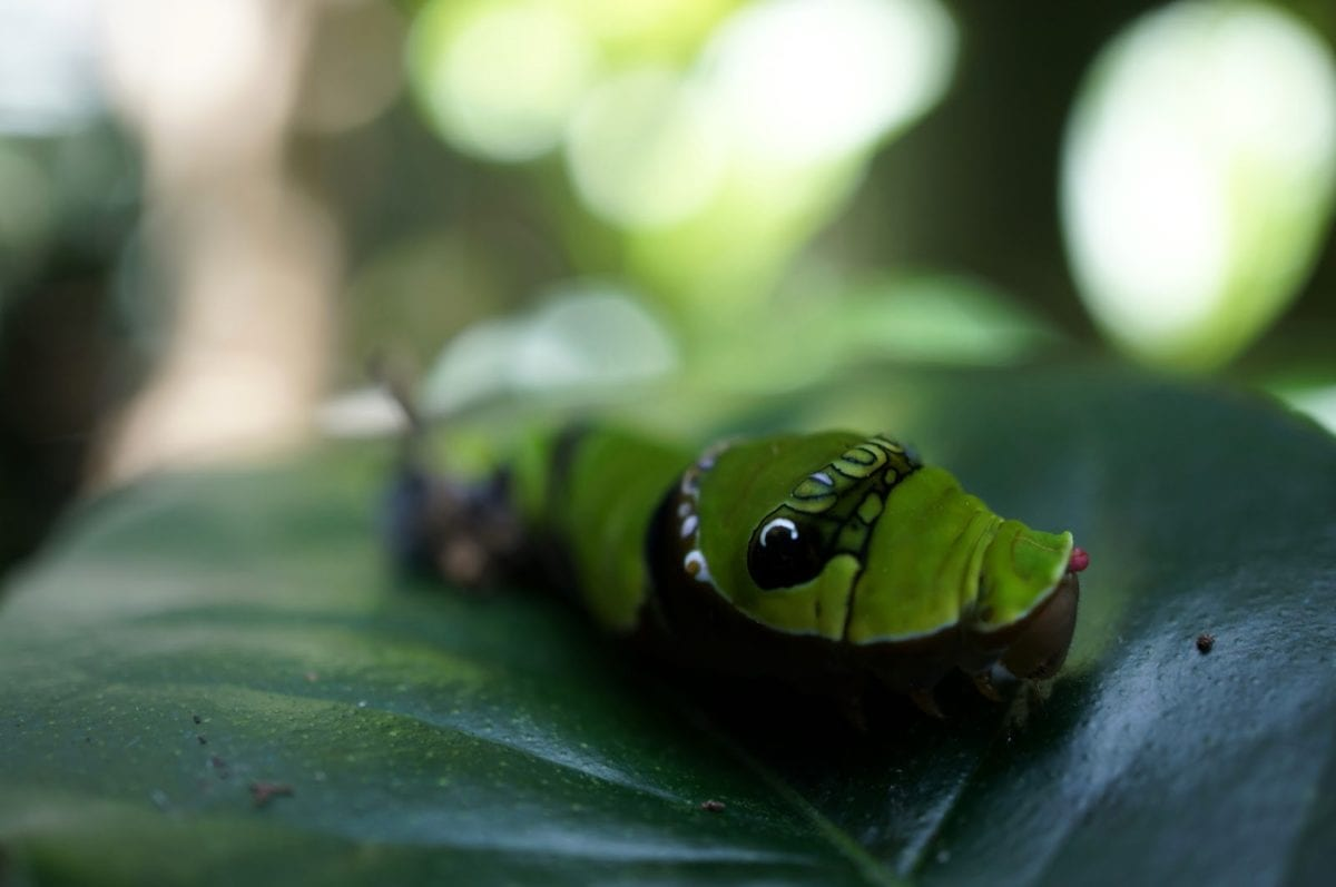биология, Катерпилар, Грийн, зелени листа, насекоми, ларва, метаморфоза, растителна