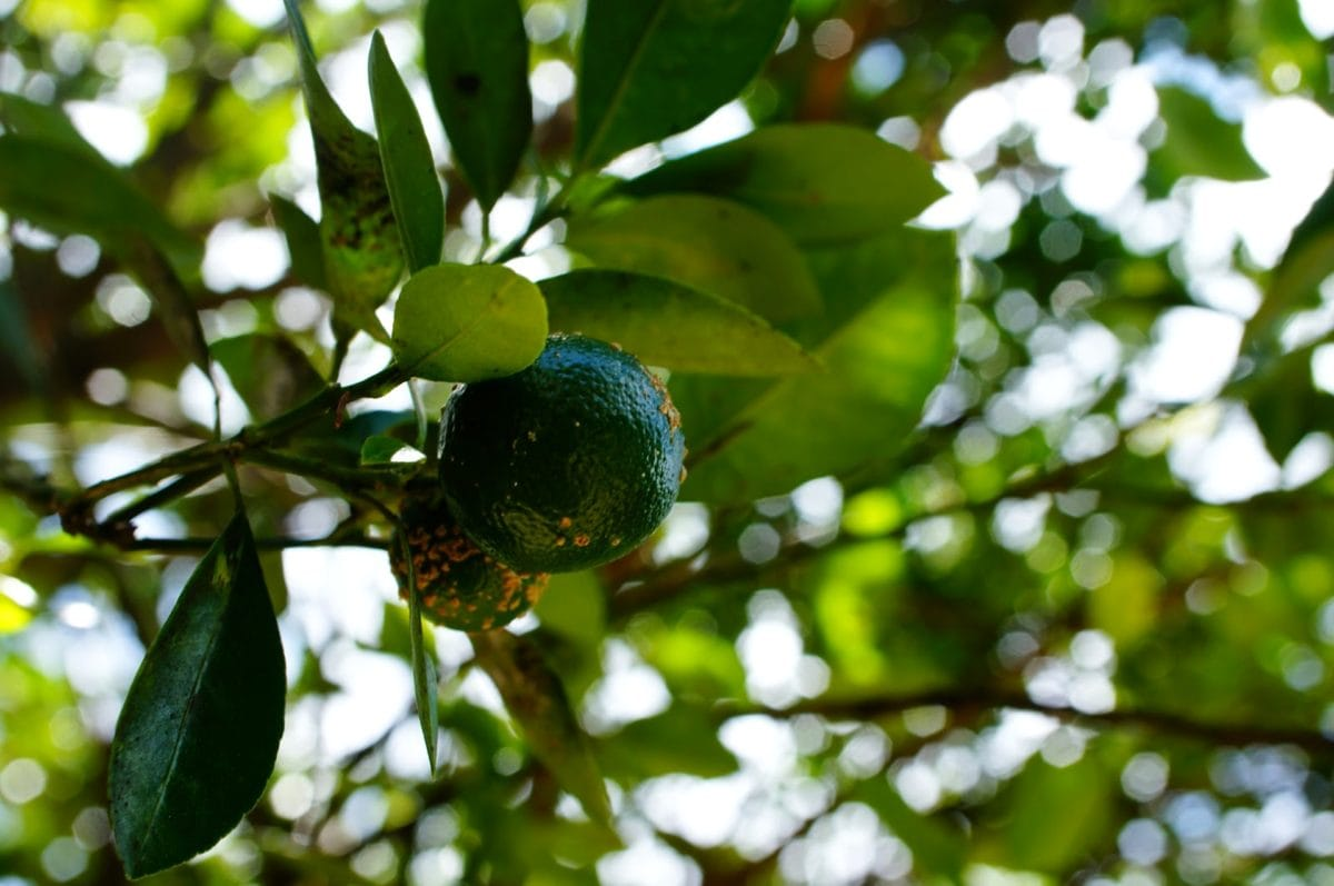 ramo, Dettagli, verde, foglia verde, limone, frutteto, natura, frutta