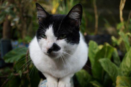 黑白, 家养猫, 脸, 鼻子, 须, 国内, 可爱, 猫