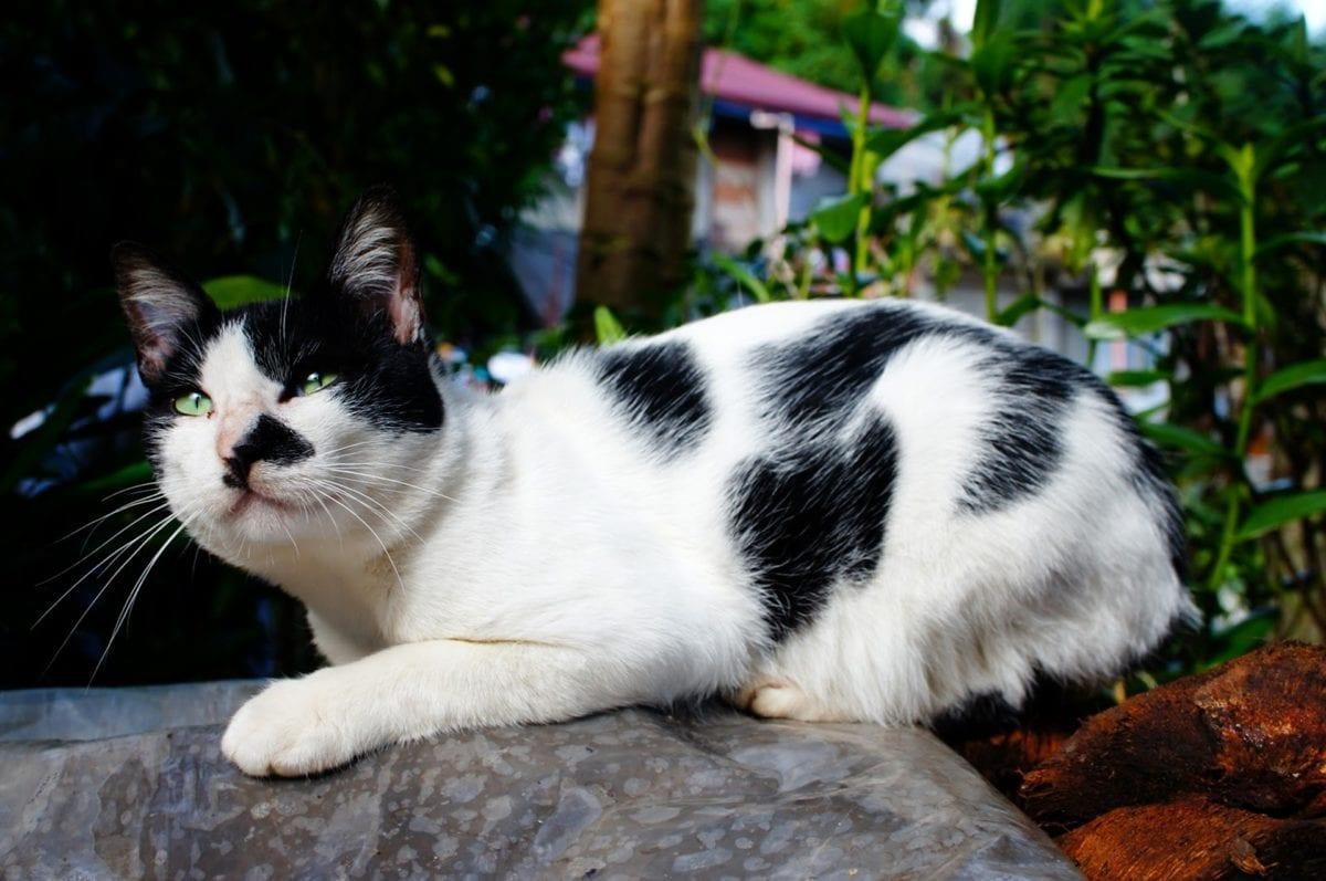 siyah ve beyaz, yerli kedi, Kürk, hayvan, şirin, kedi, kedi, evde beslenen hayvan