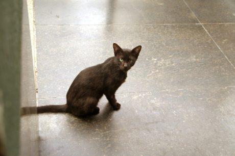 коричневий, домашньої кішки, кішка, Симпатичний, вітчизняних, Хутро, котячих, кошеня