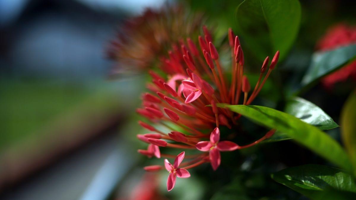 naturaleza, arbusto, planta, flor, flora, Jardín, hoja, verano
