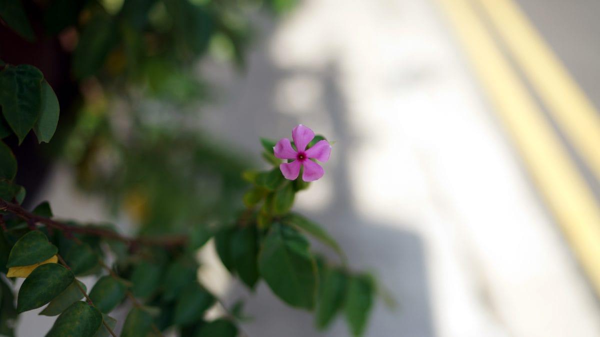 lyserød, kronblad, flora, blomsterflor, foråret, plante, blomst, plante