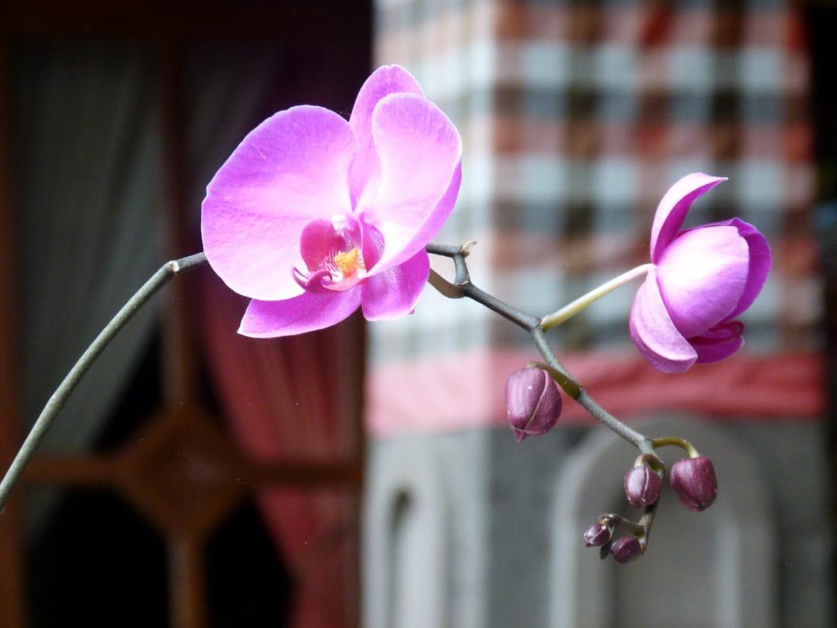 orquídea, flor, flor, pétala, rosa, natureza, flora, Verão