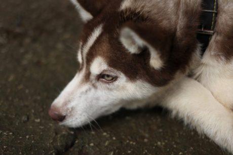 husky, sled dog, canine, fur, pet, dog, cute, portrait
