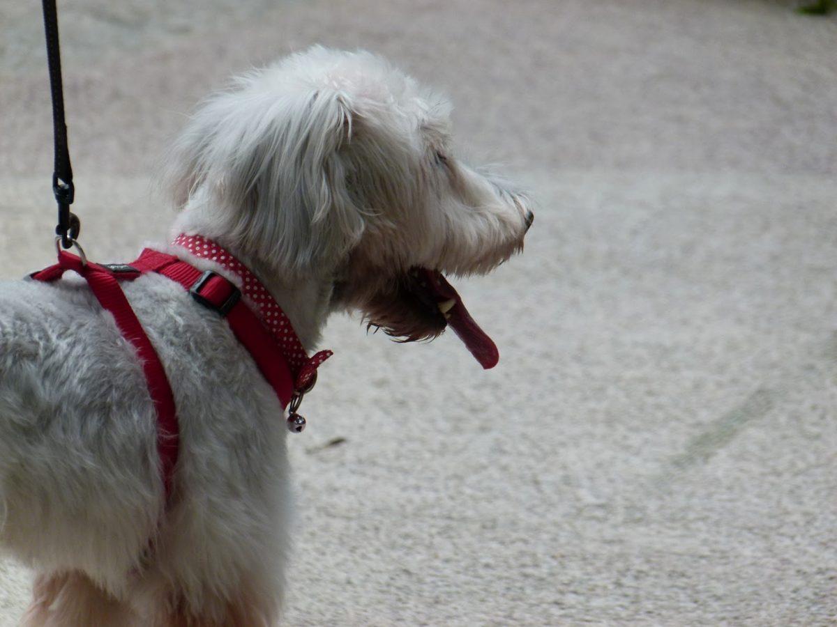 harmaa, puhdasrotuinen, koira, lemmikki, koira, Kolo, paimenkoira, Söpö