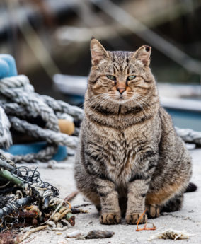marrom, gato doméstico, retrato, adorável, olhando, animal de estimação, animais de estimação, bigode