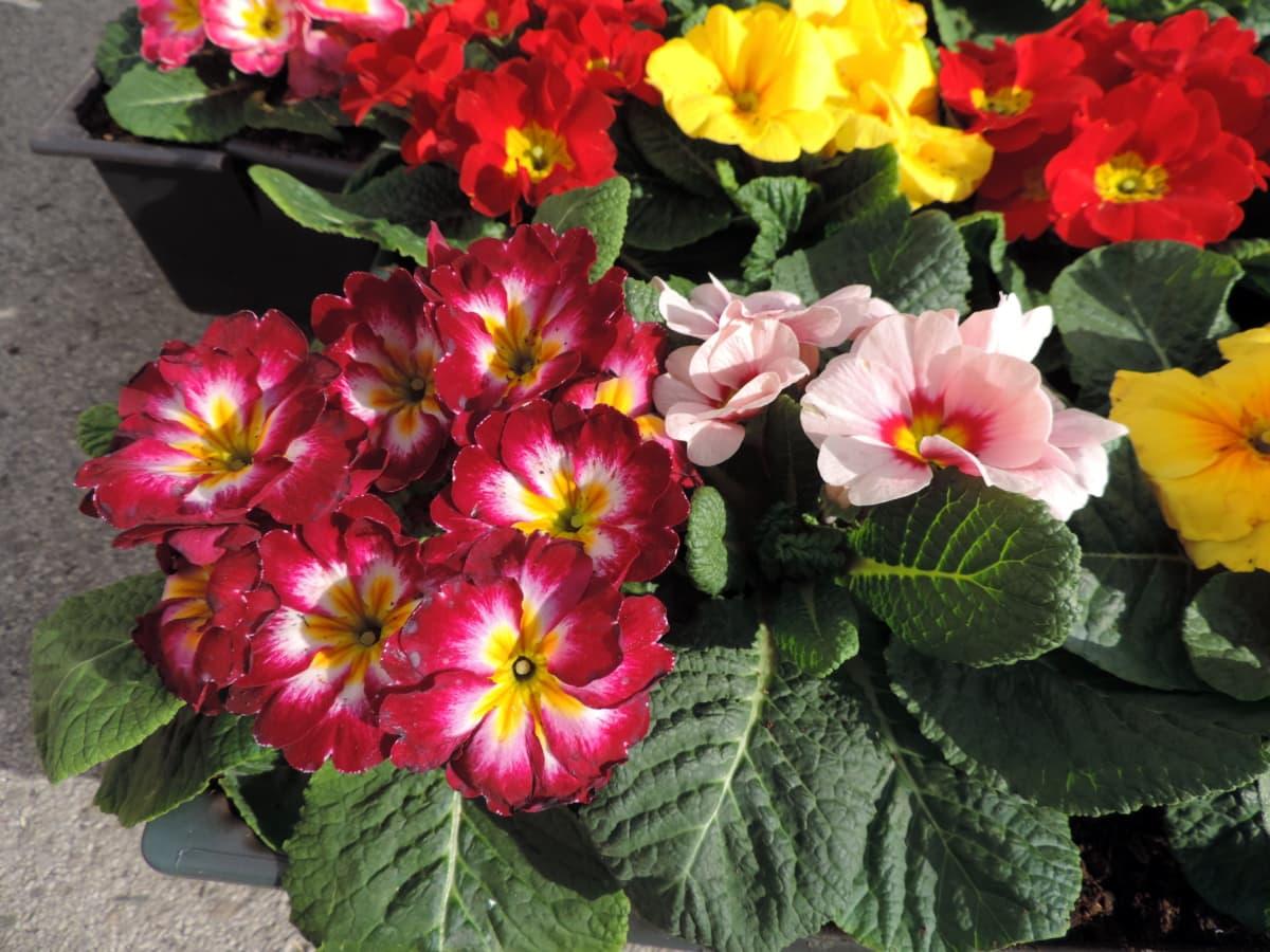 ηράνθεμο, φυτό, λουλούδια, φύση, λουλούδι, χλωρίδα, φύλλο, Κήπος
