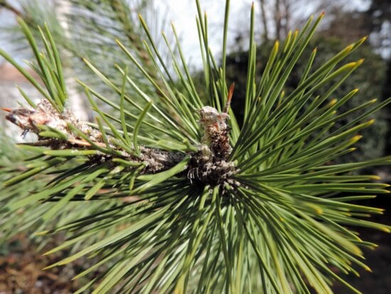 conifer, tree, evergreen, pine, needle, nature, branch, leaf