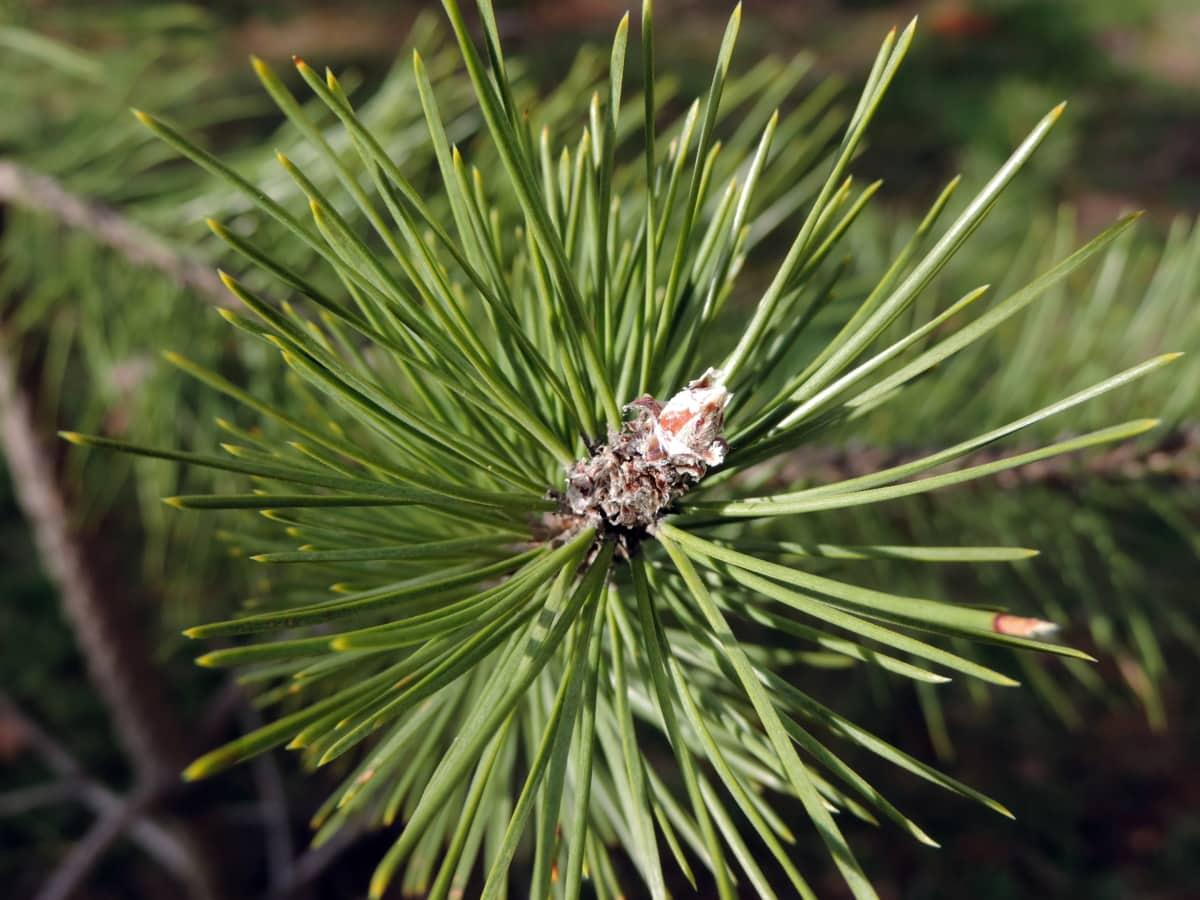 jehličnatý, zelený list, smrk, stále zelený, strom, borovice, Příroda, větev