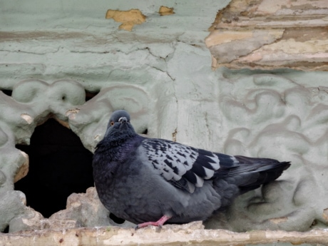 pigeon, street, animal, wildlife, beak, bird, dove, nature