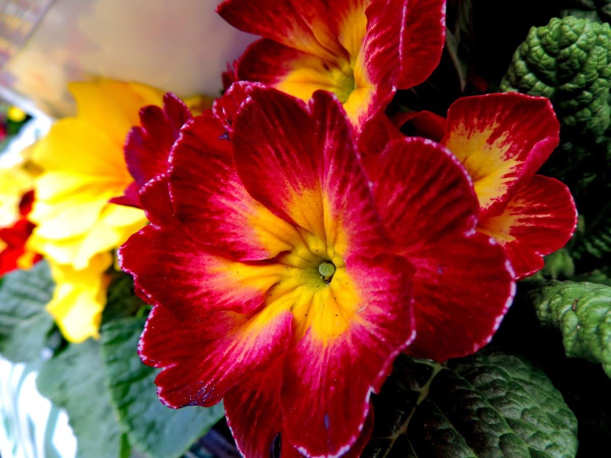 Petrklíč, Příroda, závod, květiny, list, květ, bylina, Flora
