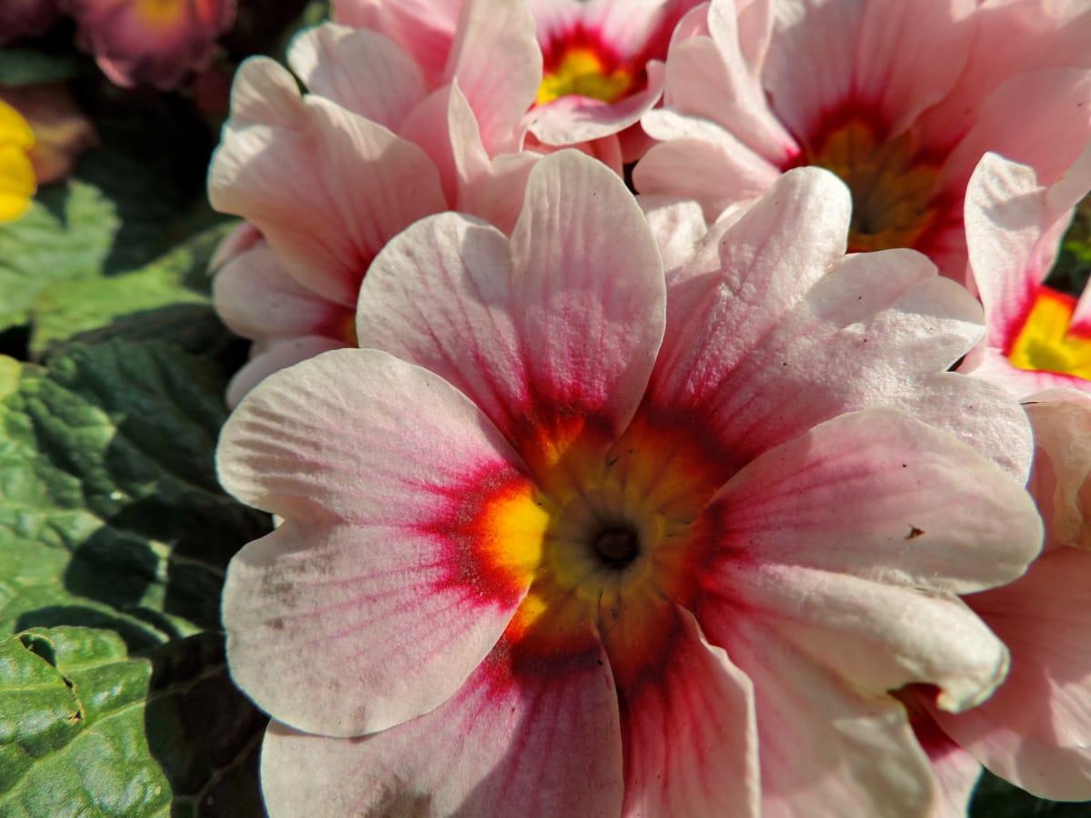 ハーブ, 自然, 花びら, フローラ, 花, ガーデン, プリムローズ, 工場