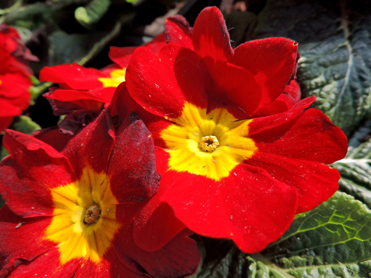 závod, bylina, Flora, květiny, Petrklíč, květ, zahrada, Příroda