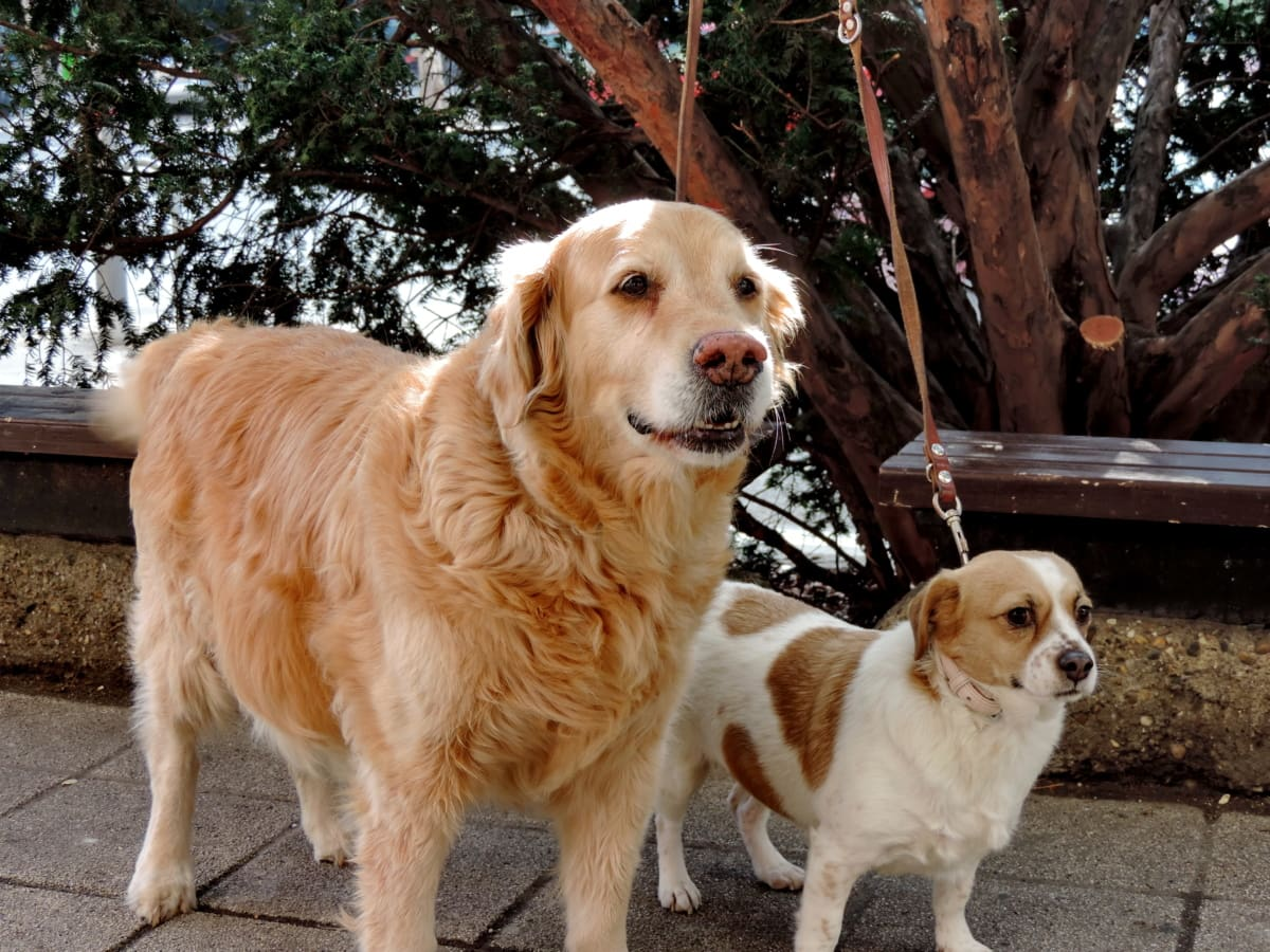 honden, Retriever, schattig, huisdier, puppy, hond, jachthond, hoektand