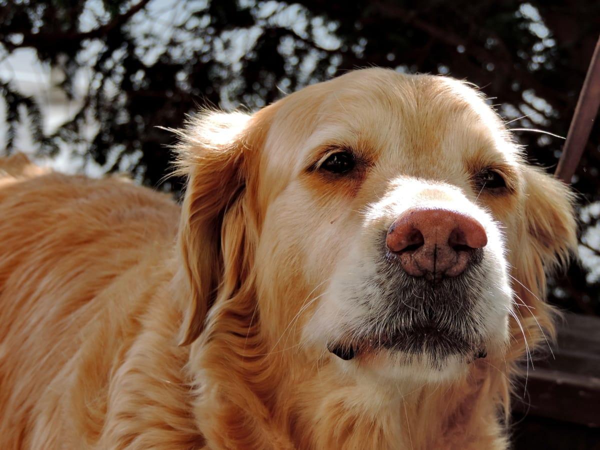 svjetlo smeđa, rodovnica, ljubimac, retriver, slatka, pas, štene, lovački pas