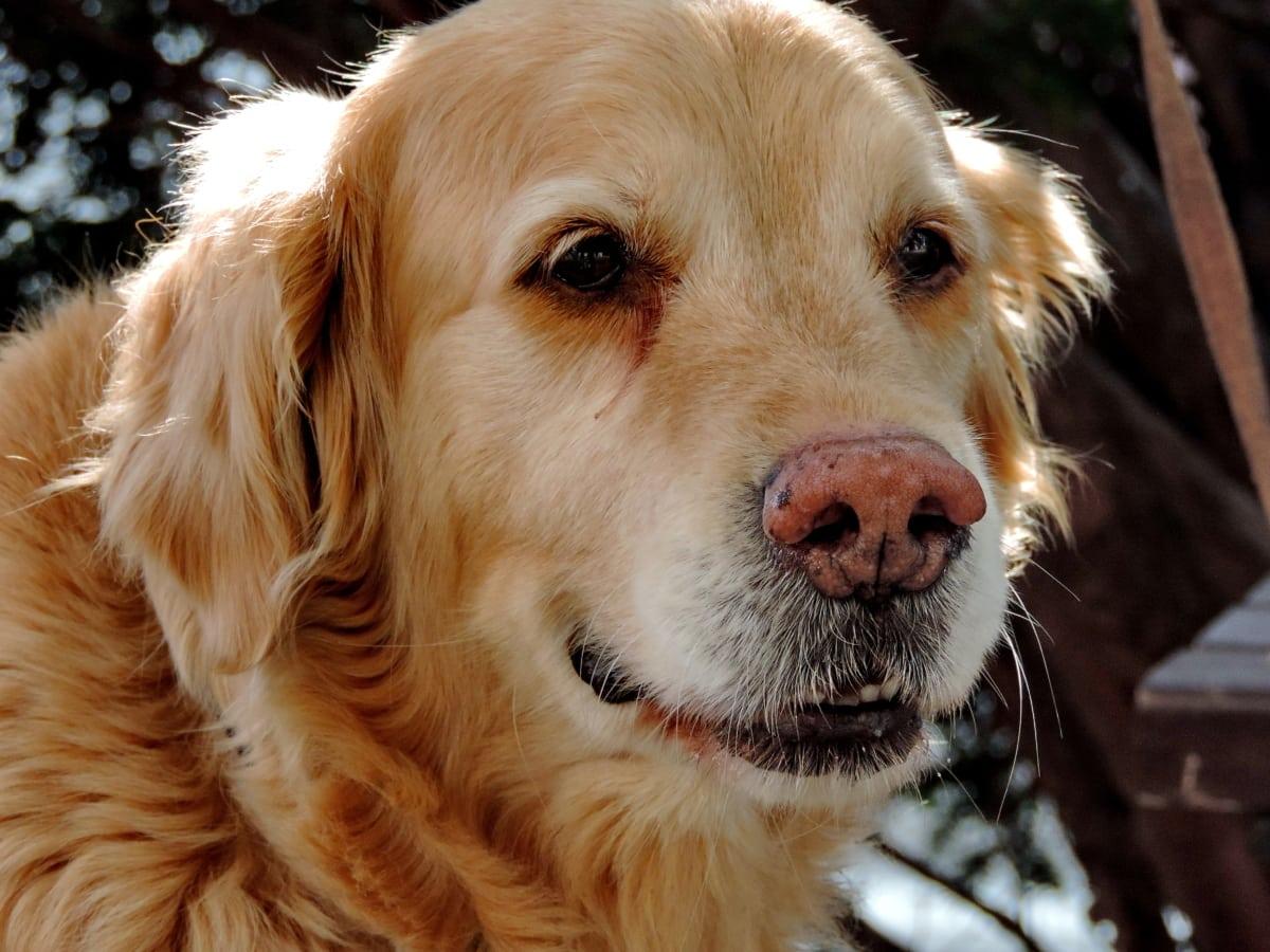 pet, dog, hunting dog, cute, canine, puppy, animal, portrait