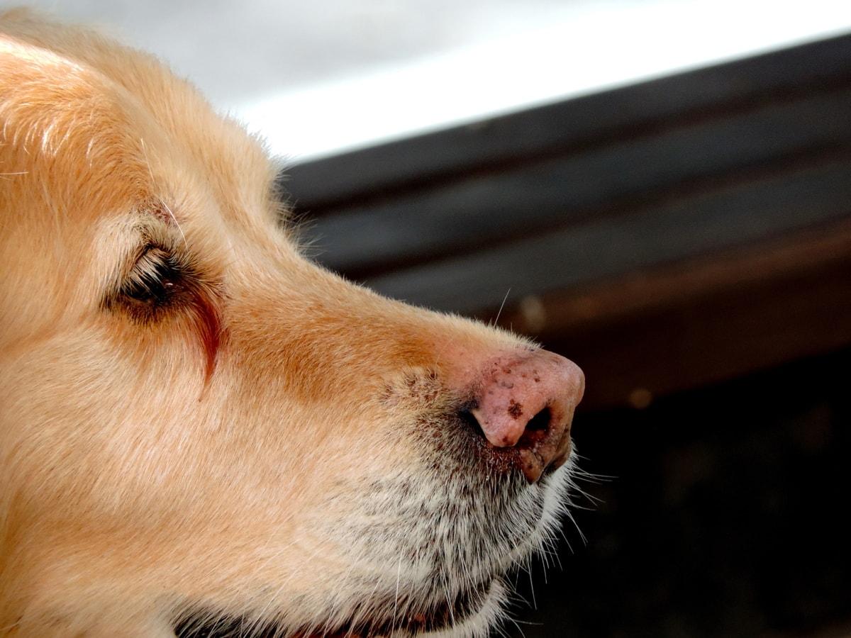 Piel, mascota, Retriever, perro de caza, animal, perro, canino, lindo