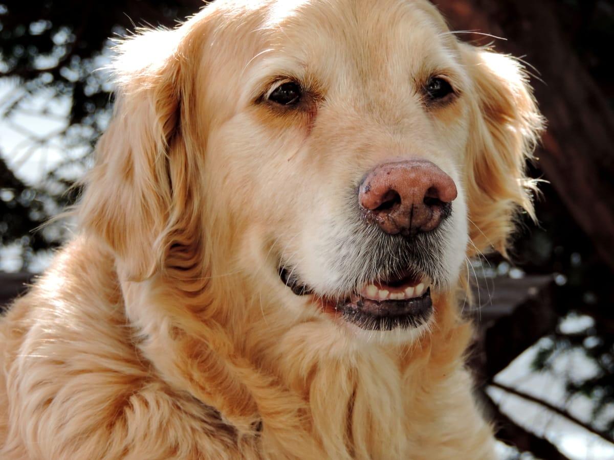 purebred, vật nuôi, trong nước, con chó, Dễ thương, con chó con, răng nanh, chó săn