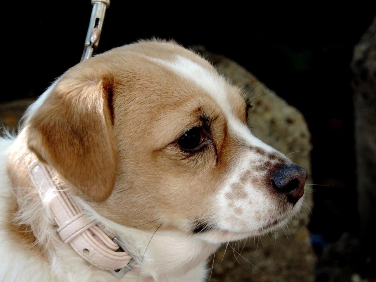 házi kedvenc, Kutyaféle, cuki, vadászkutya, Beagle, kiskutya, kutya, kutya