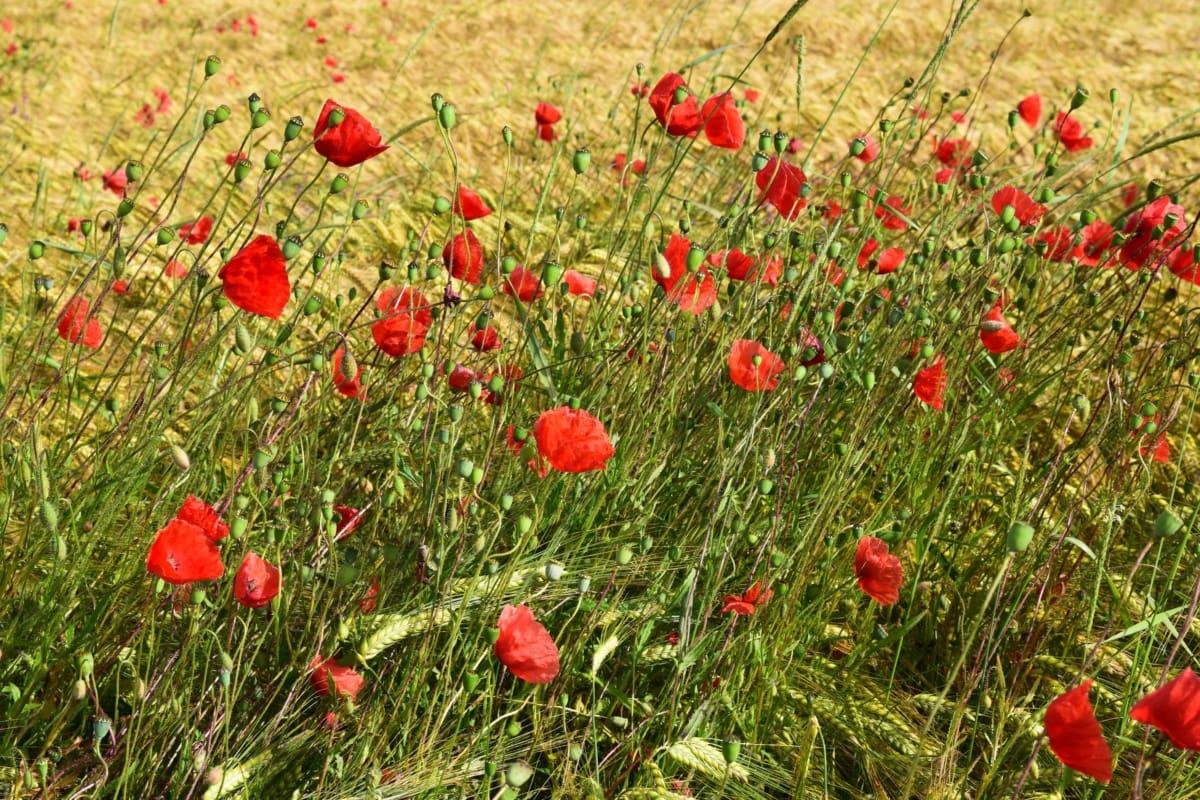Valmue, landdistrikter, sommer, sommersæsonen, vilde blomster, landbrug, felt, vokse
