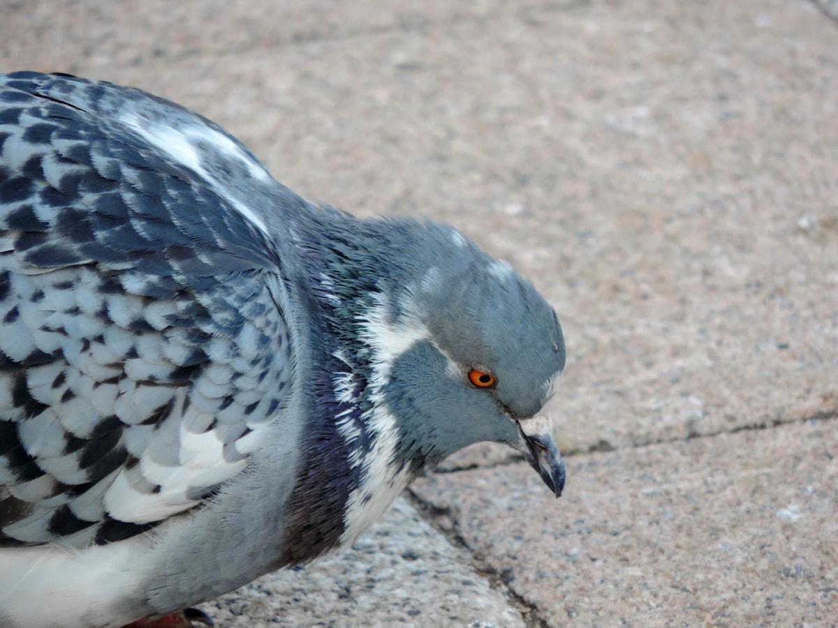 fauna selvatica, natura, piccione, animale, piuma, becco, uccello, Colomba
