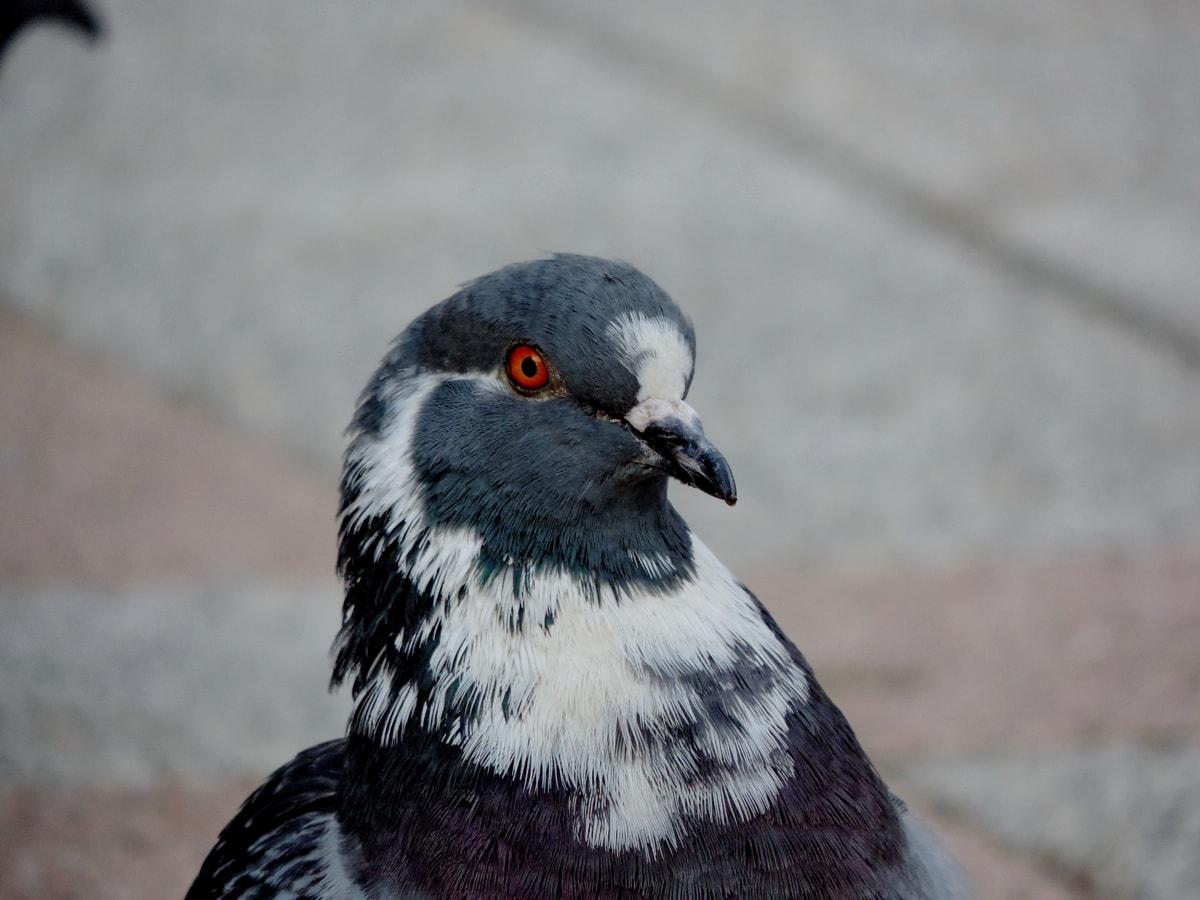 Paloma, pluma, pájaro, pico, salvaje, flora y fauna, animal, naturaleza